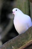 Zamyka up biała gołąbka Obraz Stock
