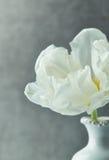 Biały tulipan Zdjęcie Stock