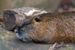 Zamyka up bobroszczur Zdjęcie Stock