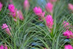 Zamyka up Bromeliad kwiat Obraz Stock
