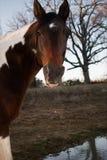 Zamyka up brown i biały koń Obraz Royalty Free