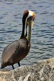 Zamyka up Brown pelikan Zdjęcie Stock