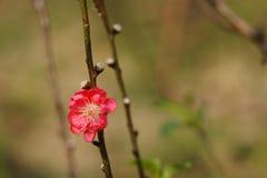Zamyka up brzoskwini okwitnięcie kwiat wiosny leśny white zdjęcia royalty free