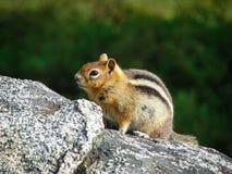 Zamyka up chipmunk na skale Zdjęcie Royalty Free