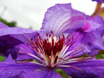 Zamyka up Clematis kwiat Clematis szczegół Zbliżenie clematis kwiat pokazuje purpurowych zabarwionych stamens z niską głębią pole Fotografia Stock