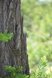 Zamyka up cykada camouflaged na drzewie, Crete Fotografia Royalty Free
