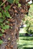 Zamyka up cykada camouflaged na drzewie, Crete Fotografia Stock