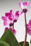 Cyklamenów kwiaty Zdjęcia Royalty Free