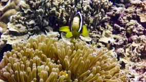 Zamyka up Czarna Anemonowa ryba w Maldives obrazy royalty free