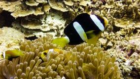 Zamyka up Czarna Anemonowa ryba w Maldives obraz stock