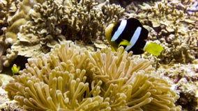 Zamyka up Czarna Anemonowa ryba w Maldives zdjęcie royalty free