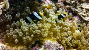 Zamyka up Czarna Anemonowa ryba w Maldives obrazy stock