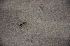 Zamyka up czarna mrówka odpoczywa na piasku Zdjęcie Royalty Free