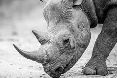 Zamyka up Czarna nosorożec chodzi na drodze w czarny i biały Zdjęcia Royalty Free