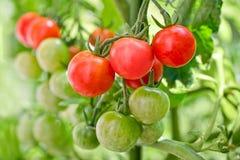 Zamyka up czereśniowych pomidorów rosnąć Zdjęcia Royalty Free