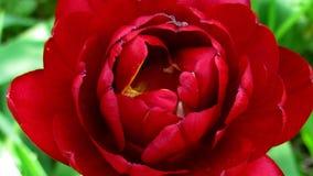 Zamyka up czerwień kwitnący tulipanowy chodzenie w łagodnym popióle, kultywujący gatunki zbiory