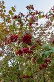 Zamyka up Czerwone jagody na drzewie zdjęcia stock