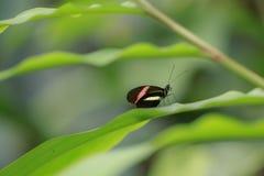 Zamyka up czerwonego listonosza Heliconius tropikalny motyli erato Zdjęcie Stock