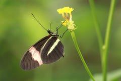Zamyka up czerwonego listonosza Heliconius tropikalny motyli erato Fotografia Royalty Free