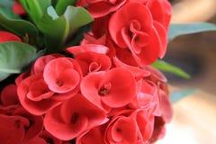 Zamyka up Czerwony euforbii milii lub korona ciernie kwitnie zdjęcie royalty free
