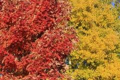 Zamyka up czerwony klonowy drzewo Fotografia Royalty Free