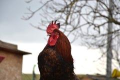 Zamyka up czerwony koguta obsiadanie na ogrodzeniu przy tradycyjnym wiejskim farmyard Fotografia Royalty Free
