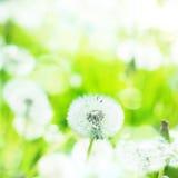 Zamyka up Dandelion na lata tle Obrazy Royalty Free