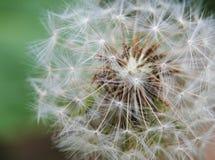 Zamyka up Dandelion na naturalnym zielonym tle Zdjęcie Stock