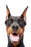 Zamyka up doberman pinscher z rozpieczętowanym usta Fotografia Stock