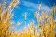 Zamyka up dojrzali pszeniczni ucho przeciw niebu Fotografia Stock
