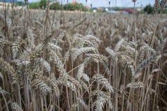 Zamyka up dojrzenie żółci pszeniczni ucho na polu przy lato czasem Szczegół złoci wheats Triticum spikelets bogaty zbiór Obraz Royalty Free