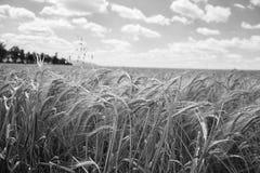 Zamyka up dojrzenie jęczmienni ucho na polu przy lato czasem z chmurnym niebem Szczegół jęczmienni Hordeum vulgare spikelets Obraz Royalty Free