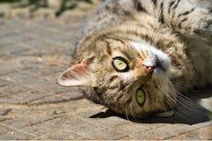 Zamyka up domowego kota kłamać do góry nogami Zdjęcie Stock