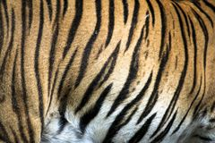 Zamyka up duży koci dziki Malayan tygrys z pięknym lampasa futerkiem fotografia royalty free