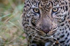 Zamyka up duży męski lampart w Kruger Obrazy Royalty Free