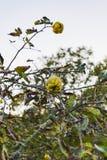 Zamyka up dwa żółtej dojrzałej pigwy na drzewie zdjęcia stock