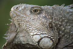 Zamyka up dzika iguany jaszczurki twarz Obraz Stock
