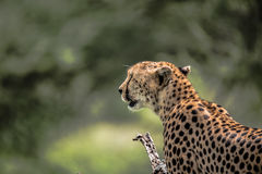 Zamyka up dziki gepard Serengeti Obraz Stock