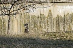 Zamyka up emu struś pokazuje niezwykłą strukturę i upierza przygotowania wokoło ucho zdjęcia royalty free
