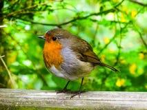 Zamyka up Europejski rudzika ptak Obrazy Royalty Free