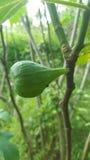 Zamyka up figi drzewo rośliną zdjęcia royalty free