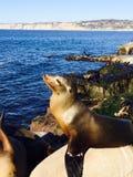 Zamyka up foka na plaży przy losem angeles Jolla, San Diego Kalifornia usa Fotografia Royalty Free