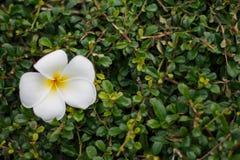 Zamyka up frangipani lub pagoda kwiaty na zielonej trawy backgr Zdjęcia Royalty Free