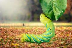 Zamyka up gąsienicowy Papilio xuthus Na zdjęcia royalty free