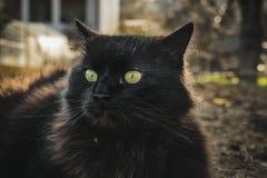 Zamyka up gęsty długie włosy czarny Chantilly Tiffany kota lying on the beach przy ogródem Gruby tomcat z stunning dużych zielony obraz stock