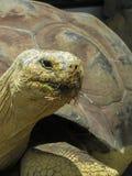 Zamyka up Galapagos Tortoise Obrazy Stock