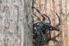 Zamyka up gigantyczny duży gruby czarny pająk z jedwabiem Zdjęcie Royalty Free