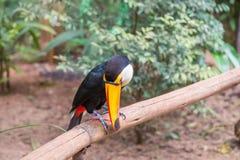 Zamyka up gigantyczny kolorowy tucano Obraz Royalty Free
