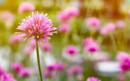 zamyka up gomphrena globosa lub fajerwerku kwiat piękny pi Obraz Royalty Free