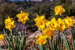 Zamyka up grupa jaskrawej żółtej wiosny Wielkanocni daffodils kwitnie outside w wiośnie Zdjęcia Stock